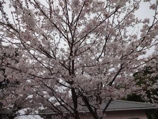03月29日 桜.JPG