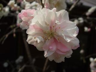 桜 記事用 4月18日.JPG